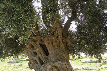 Ancient olive tree, Sicily
