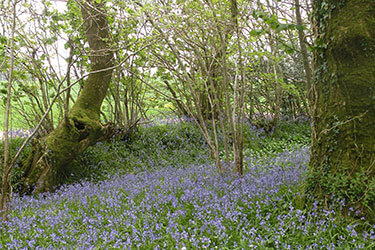 Bluebell wood, Dorset