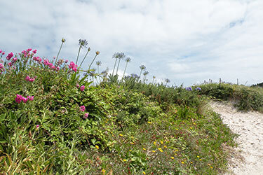 Flowers growing on path to beach, Tresco